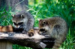 Passen Sie von den Waschbären zusammen, die auf einem Klotz essen stockfotografie