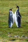 Passen Sie von König Penguins zusammen, das an einem Verpfändungsritual teilnimmt und hoch zusammen stehen mit den Bäuchen und, a stockfoto