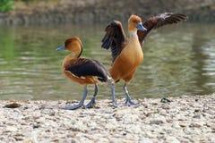 Passen Sie von wandernden pfeifenden Enten zusammen stockfoto