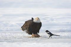 Passender Weißkopfseeadler und Elster Lizenzfreie Stockbilder