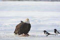 Passender Weißkopfseeadler und zwei Elster Stockfotografie