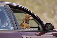 Passenger. Dog going for a ride Stock Photo