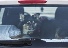 Passenger. Dog passenger in the car Royalty Free Stock Image
