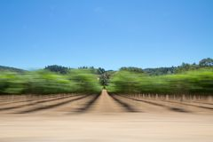 Sonoma Valley grapevines and trees from a moving car. Passenger view of Sonoma`s famous vineyards taken using a panning technique Stock Photography