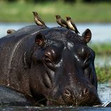 Passengers. The hippopotamus sits in a bog and on his back birds were attached Stock Image