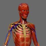 Passeport humain d'anatomie avec des muscles Photo libre de droits