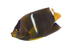 Passer Angelfish, Holacanthus passer, Royalty Free Stock Photos