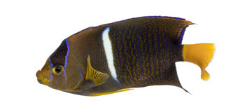 Passer Angelfish viewed from up high, Holacanthus passer Royalty Free Stock Images