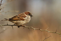 Passer domesticus. Male of House Sparrow, Passer domesticus, in winter plumage resting royalty free stock photography