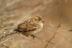 Passer domesticus. Female of House Sparrow, Passer domesticus, resting stock photos