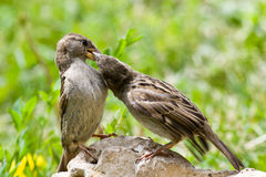 Passer domesticus, House Sparrow Royalty Free Stock Image
