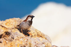 Passer domesticus (House Sparrow). Sitting on a rock against blue sky stock photo