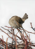 Passer domesticus. House Sparrow cleans feathers on a branch Stock Photos