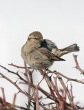 Passer domesticus. House Sparrow cleans feathers on a branch Stock Image