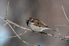 Passer domesticus - House Sparrow Stock Photography