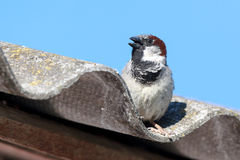 Passer domesticus, House Sparrow. Stock Photos