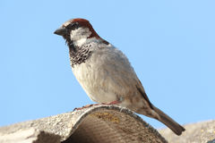 Passer domesticus, House Sparrow. Royalty Free Stock Photo