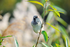 Passer domesticus house sparrow Royalty Free Stock Photography
