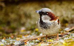 Passer domesticus Royalty Free Stock Photography