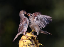 Passer domesticus Stock Photography