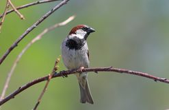 Male of a house sparrow close up. Passer domesticus. Male house Sparrow spring day on a branch Royalty Free Stock Images