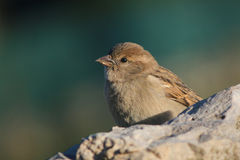 Passer domesticus. Resting and looking in stone Royalty Free Stock Image