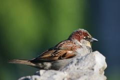 Passer domesticus. Resting at stone Stock Photography