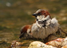 Passer domesticus sparrow bathing. In a riverside Stock Images