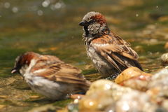 Passer domesticus sparrows bathing. Passer domesticus sparrow bathing in a riverside Royalty Free Stock Photography