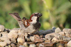 Passer domesticus on the stones near water Royalty Free Stock Photos