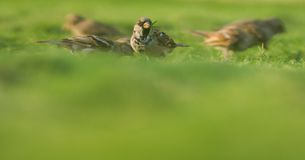 Passer domesticus, vogels Jordanië royalty-vrije stock fotografie