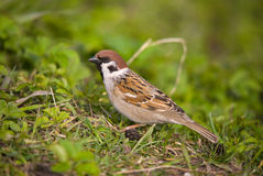 Passer montanus Royalty Free Stock Images