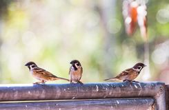 Passer montanus birds perch on the fence on a clear day as the background. Passer montanus birds perch on the leak on a clear day, as a background Royalty Free Stock Images