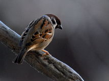 Passer montanus sitting on a branch Royalty Free Stock Image