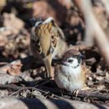 Passer montanus Stock Photography