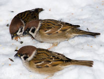 Passer montanus, Tree Sparrow Stock Images