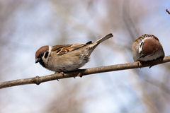Passer montanus, Tree Sparrow Royalty Free Stock Photo