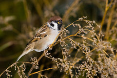Passer montanus, Tree Sparrow Stock Photo