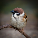 Passer montanus, Tree Sparrow Stock Photography