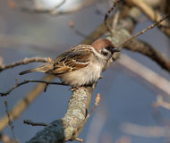 Passer montanus, Tree Sparrow Stock Photos