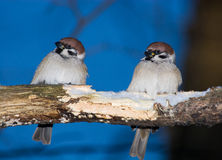 Passer montanus, Tree Sparrow Royalty Free Stock Photography