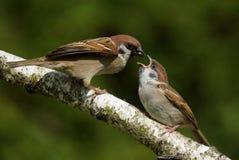 Passer montanus Tree Sparrow Stock Photos