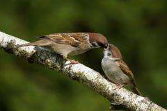 Passer montanus Tree Sparrow Stock Images