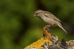 Passer montanus Tree Sparrow Royalty Free Stock Image