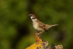 Passer montanus Tree Sparrow Royalty Free Stock Photos