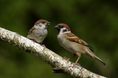 Passer montanus Tree Sparrow. Passer montanus Male and young Tree Sparrow Royalty Free Stock Photos