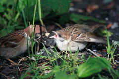 Passer montanus, Tree Sparrow. Royalty Free Stock Images