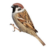 Passer montanus, Tree Sparrow. Tree Sparrow (Passer montanus) is in the nature. Russia Royalty Free Stock Image
