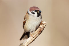 Passer montanus, Tree Sparrow. Stock Images