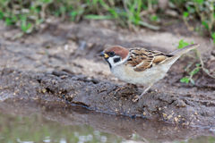 Passer montanus, Tree Sparrow. Royalty Free Stock Photos